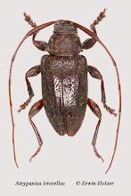 Photo: Atrypanius irrorellus, 6,6 mm, Costa Rica, Esquinas Rainforest (08°42´/-83°12´), leg. Erwin Holzer, det. Herbert Schmid