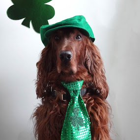 DSC02996 by Susan Hughes - Animals - Dogs Portraits ( st. patrick's day, gibbs )