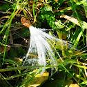 Common Milkweed (Seed)
