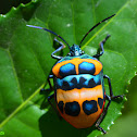 Shield-backed Jewel Bug