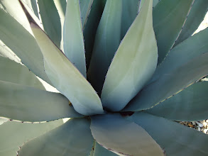 Photo: Agave in Winter