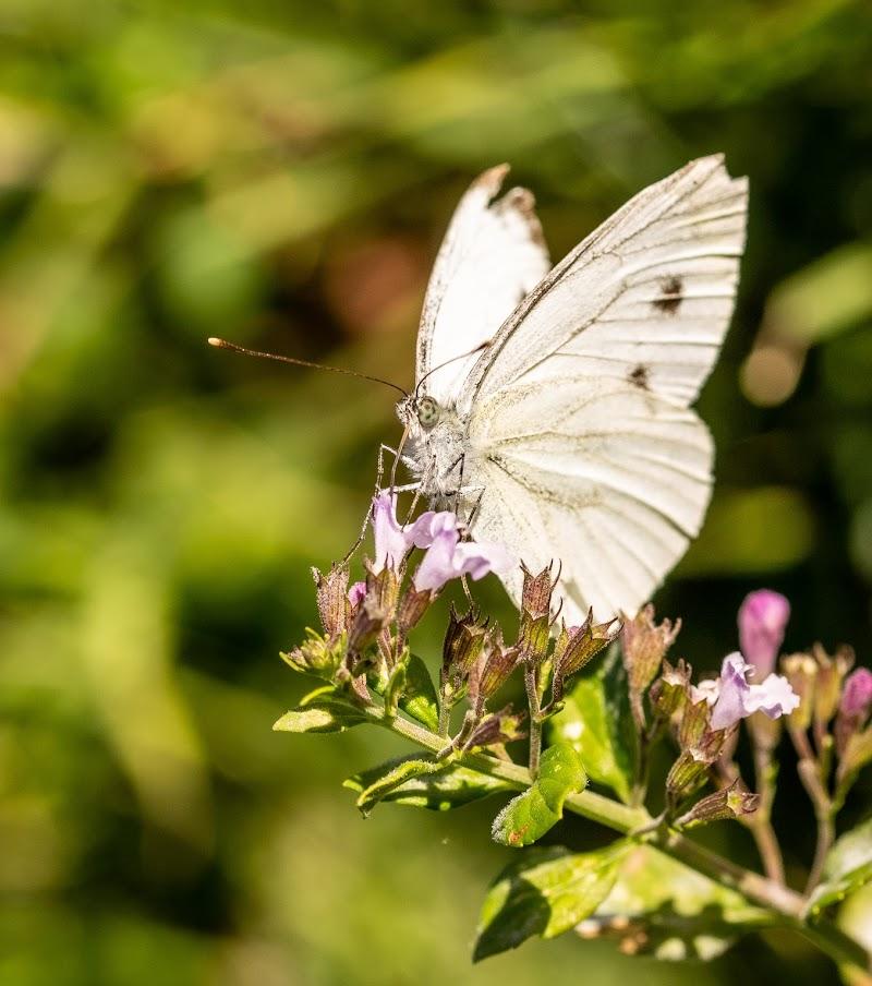 White butterfly di Manuelebernardi1977