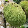 Jack Fruit / Jack Tree
