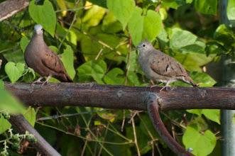 Photo: Ruddy Ground-Dove (Rosttäubchen); Bacalar, QROO