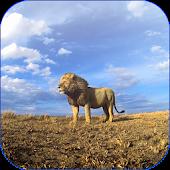Lions Video Live Wallpaper
