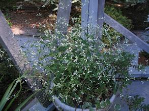 Photo: Euphorbia - Diamond Frost
