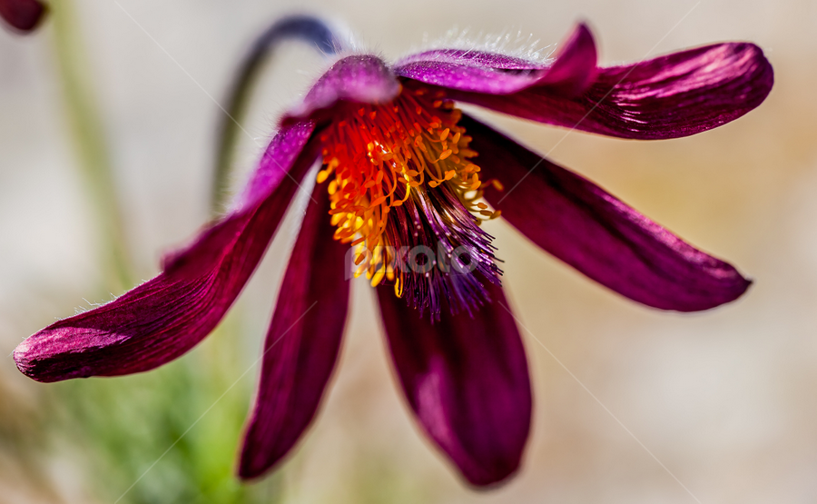Pulsatilla rubra by Geir Hammer - Nature Up Close Flowers - 2011-2013