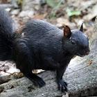 Eastern Gray Squirrel Black Phase