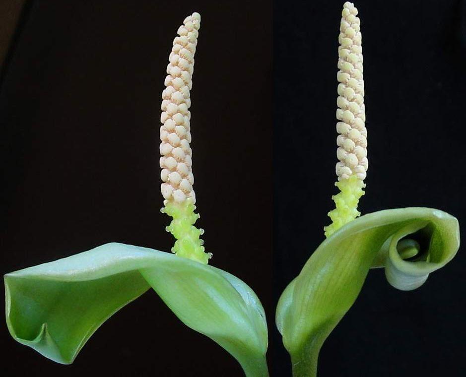 Анубиас каладиелистный (Anubias barteri var. caladiifolia)