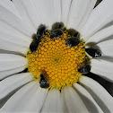 Pollen beetles