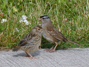 Photo: A White-crowned Sparrow with one of it's chicks.