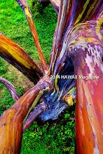 Photo: ABSTRACT CATEGORY, FINALIST. Eucalyptus tree alongside Hana Highway, Maui. Photo by John O'Leary, Lahaina, Maui, Hawaii.