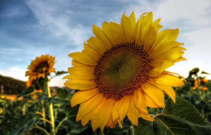 Sunflower di simonac