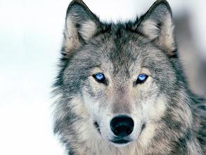 Photo: My gorgeous blue-eyed WOLFIE!!!!!