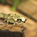 Lichen-mimicking Katydid