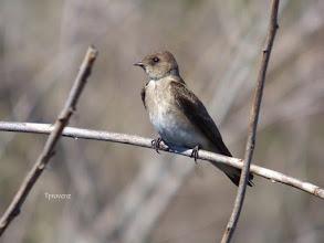 Photo: Northern Rough-winged Swallow Tony Provenzano