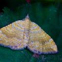 Yellow Shell