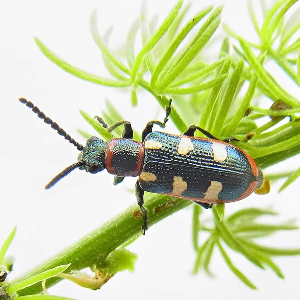 how to deal with the asparagus beetle
