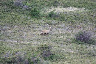 Photo: The endangered Huemul Deer