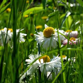 chamomile by Oleg Verjovkin - Nature Up Close Flowers - 2011-2013 ( grass, chamomile, summer, latvia, flowers )