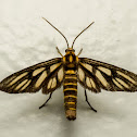 Wasp Moth, Amata species