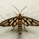 Wasp Moth, Amata species