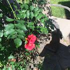 The red trumpet vine