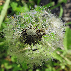 dandelion by Bojan Dobrovodski - Nature Up Close Other plants ( dandelion grass meadows spring natzre )