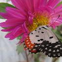 Red Pierrot Butterfly