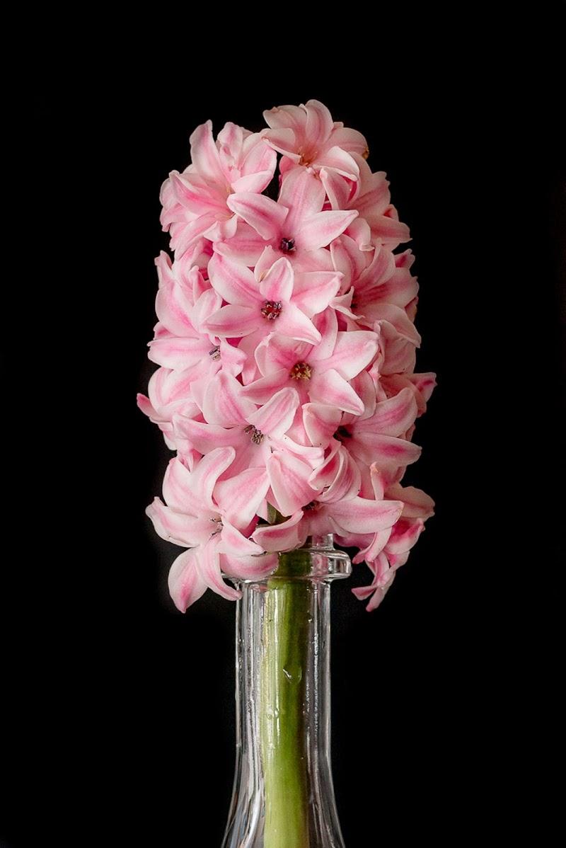 Hyacinthus di Morellato Marco
