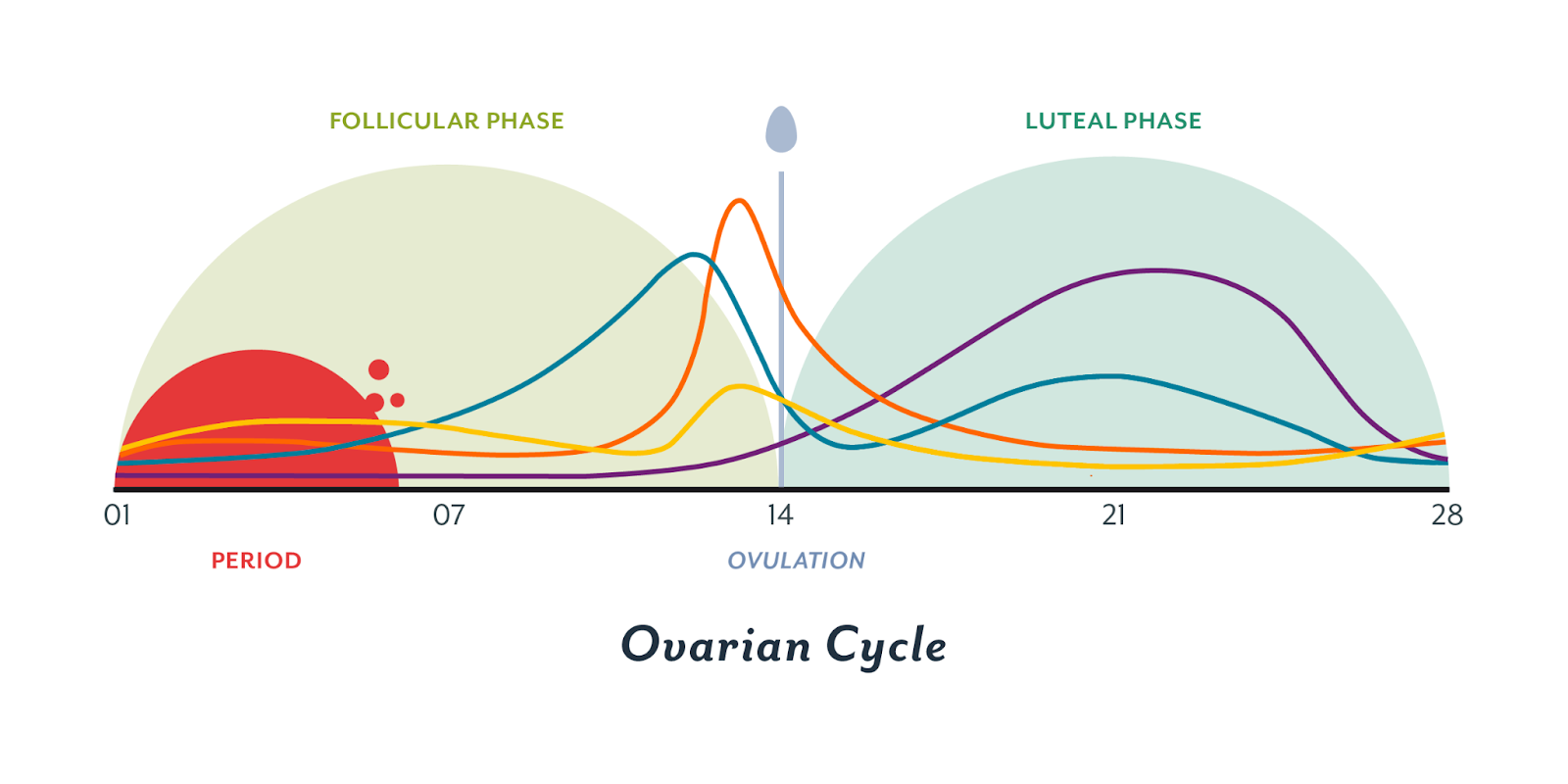 trying to conceive -- ovarian cycle