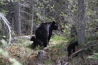 Photo: Bow Valley Wildland PP - Bärin mit 2 Jungen