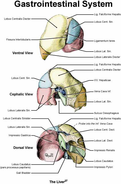 Illustration of the liver of the rhesus monkey [27].
