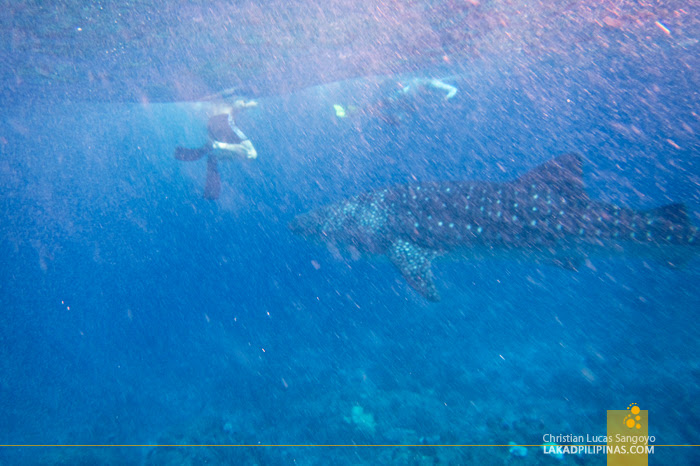 Maldives Island Hopping Tour Maamigili Whale Sharks
