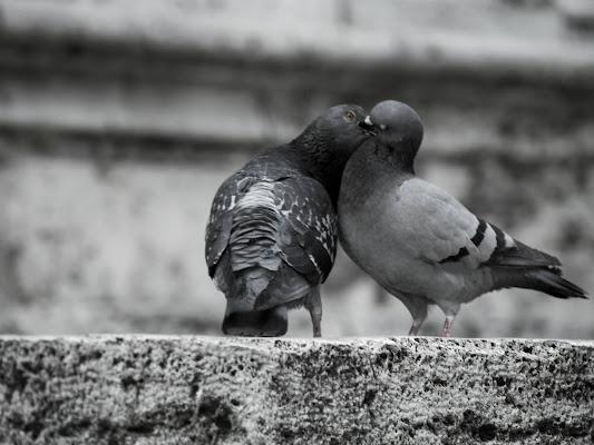 Piccioni in amore