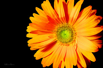 Photo: ...orange dreams...  Happy Friday, Everyone :)))  Since it is floral Friday, here is my contribution to #floralfriday  +FloralFriday by +Tamara Pruessner; #feelgoodfriday +FeelGoodFriday by +Rebecca Borg; #10000photographersaroundtheworld  +10000 PHOTOGRAPHERS around the World by +Robert SKREINER; #canon   #canonusers +Canon Users; #plusphotoextract   #PlusPhotoExtract #photography #potd  View larger image and more works from Yellow/Orange Floral Collection: http://milenailieva.smugmug.com/Galleries/Floral/23811668_LzCs5Q#!i=2205206279&k=7HqzC3m