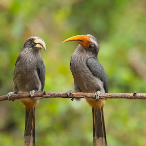 Chit-Chat by Santanu Majumder - Animals Birds ( malabar-grey-hornbill, nature, hornbill, birds, india )