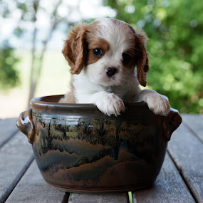 Potted Puppy Cavalier by Tanya Rossi - Animals - Dogs Portraits ( cavalier, pups, dogs, spaniel, pup, puppy, pot )