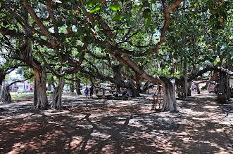 Photo: America's biggest banyan tree, in Lahaina.