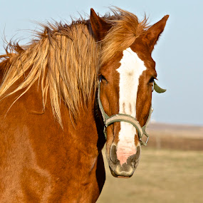 Portrait of a Mare  by Robert Remacle - Animals Horses (  )