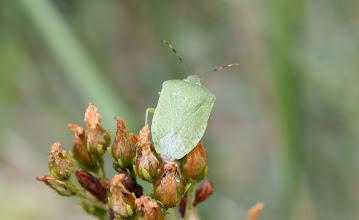Photo: Nezara viridula   Heteroptera > Pentatomidae
