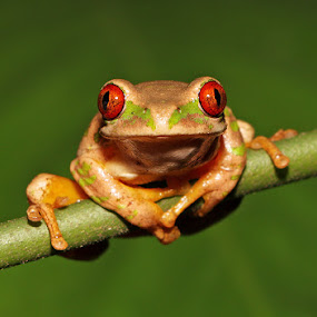 Natal Tree Frog by David Knox-Whitehead - Animals Amphibians ( red, green, amphibian, frogs, suspended, eyes )