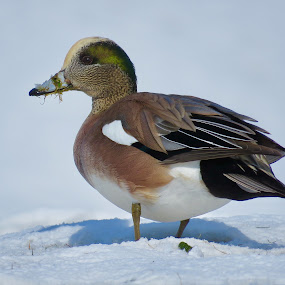 American Wigeon  by Nick Swan - Animals Birds ( nature, duck, wigeon, wildlife )