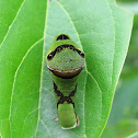 Green-washed Swallowtail Caterpillar