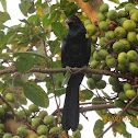 Asian Koel (male)
