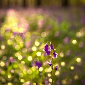 Bokeh dream by Marlou Nijpels - Flowers Single Flower ( colour, macro, forest, bokeh, sun, flower,  )