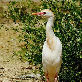 Garde boeufs by Gérard CHATENET - Animals Birds