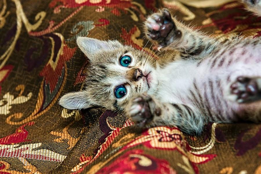 by Salman Realpicphoto - Animals - Cats Portraits