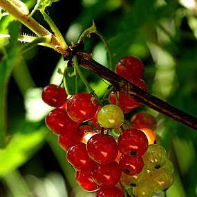 The first domestic currants by Alka Smile - Food & Drink Fruits & Vegetables (  )