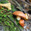 Suillus Mushroom